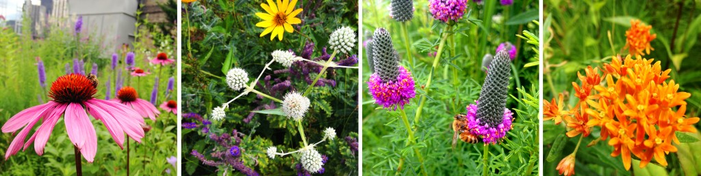 Pollinators and prairie plants, including some of our favorites: the white spiky Rattlesnake Master and the brilliant orange Butterfly Weed, a species of milkweed