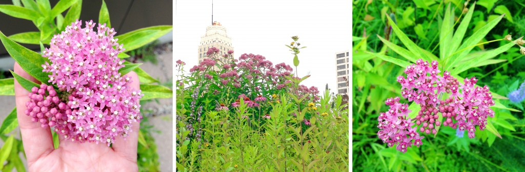 Milkweeds is at the height of its bloom during our visit
