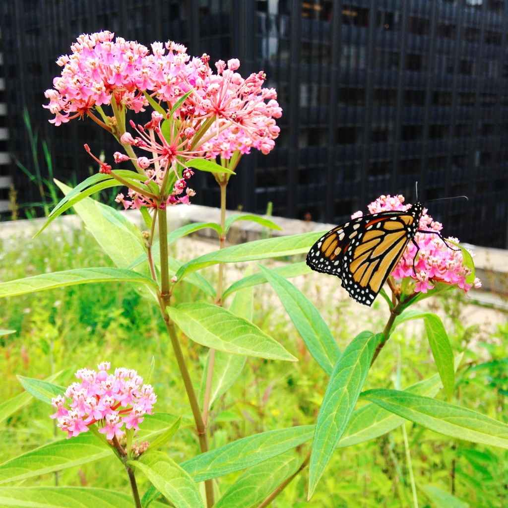 We found the monarchs! and were treated to the special sight of a monarch feeding on milkweed in the middle of downtown Chicago...