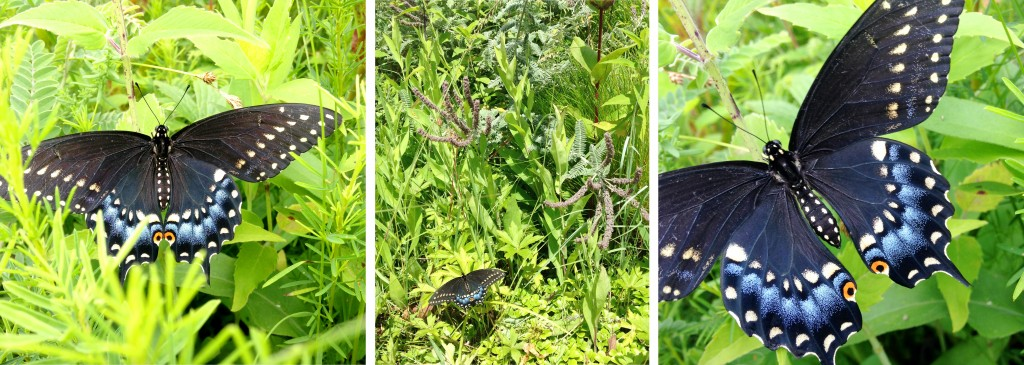 A native Black Swallowtail rests on the rooftop prairie